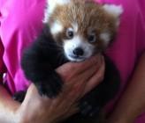 Firefox Cub